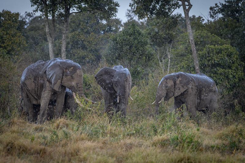 Elephants in the rain, Masai Mara, Kenya, East Africa