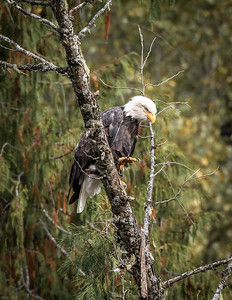 Kootenay Bald Eagle 2