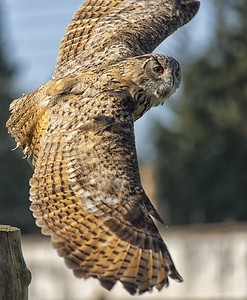 Colin - the Turkmenian eagle owl - banks hard around a post