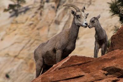 Lamb's Love