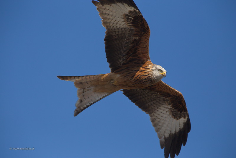 Red Kite - Rotmilan