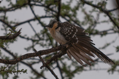 Cuckoo, Great Spotted