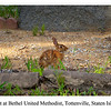 Rabbit at Bethel United Methodist, Tottenville, Staten Island