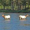 34 - Elk, Yellowstone