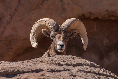 Big Horn Sheep (captive)