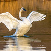 Adult Trumpeter Swan Flapping Wings
