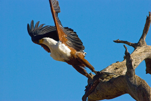 Fish Eagle with catfish, Chobe River, Botswana