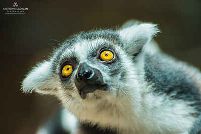 Ring-tailed Lemur (Lemur catta) - captive