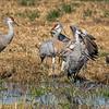 Sandhill Cranes 1881