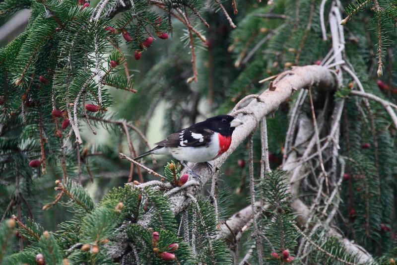 Red Breasted Gross Beak - SW Wisconsin