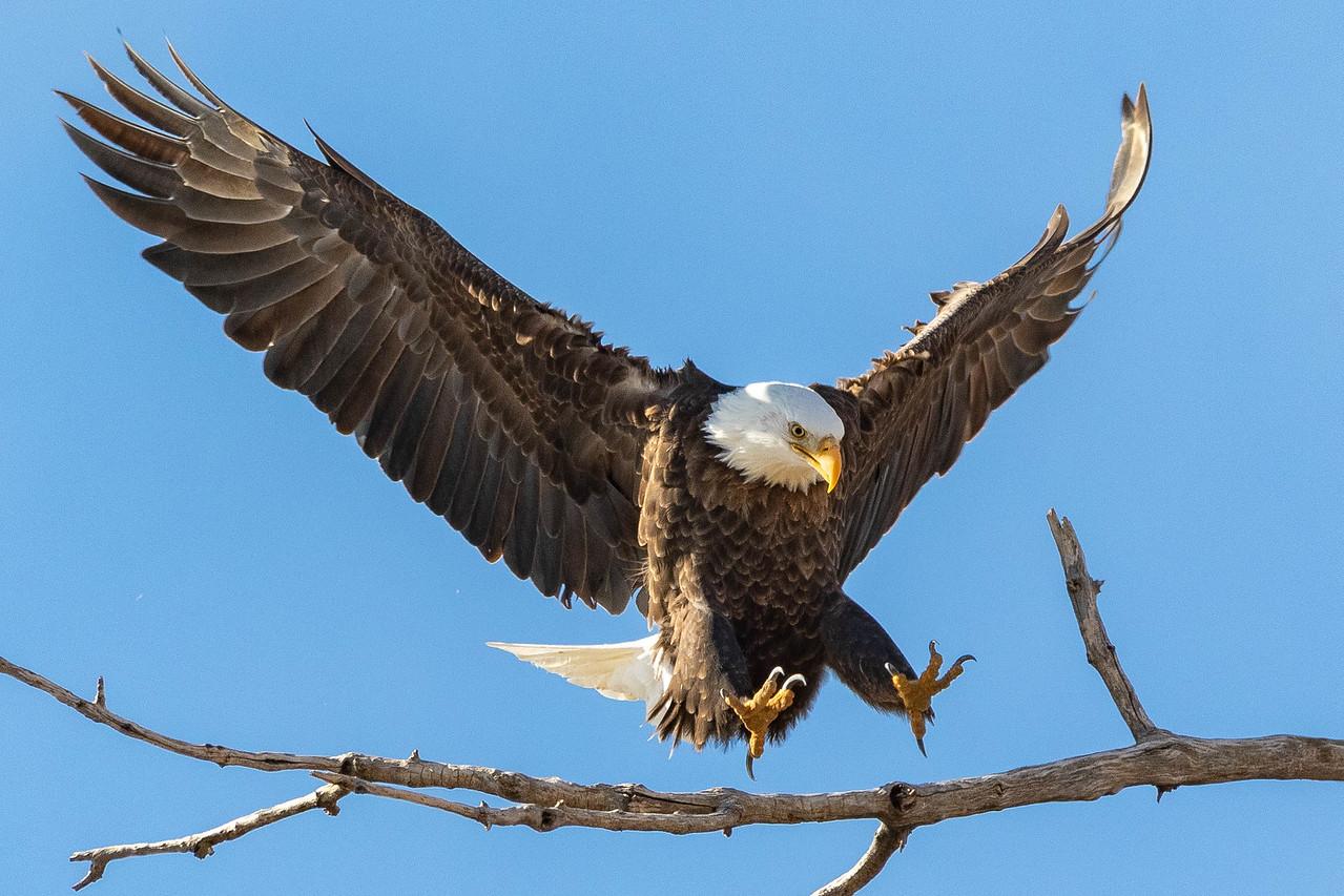 IMAGE: https://photos.smugmug.com/Wildlife/i-zG4C59s/0/202af072/X2/whitehead%20landing%202-X2.jpg
