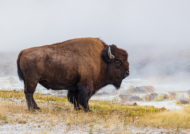 Sideview of buffalo standing by steaming water