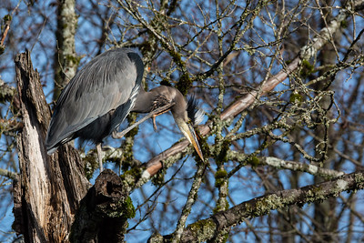 Scratching Blue Heron