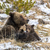 Grizzly Sow Nursing Cubs