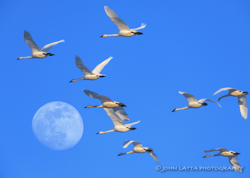 Tundra Swans and Supermoon