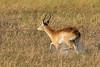 Running red lechwe