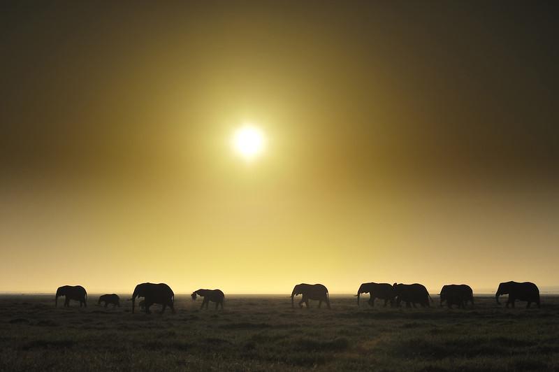Elephants on the move at sunrise in Amboseli National Park, Kenya, East Africa