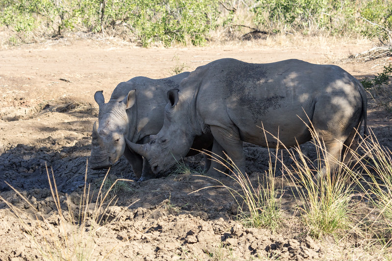 A Pair of Endangered white rhino in dried up watering hole,defiant and stoic, beautiful, KwaZulu-Natal