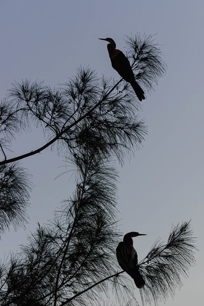 Anhinga evening perch