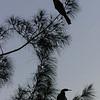 Anhinga evening perch
