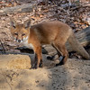 A Red Fox Kit 5/10/20