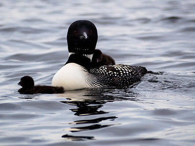 Loon and chicks