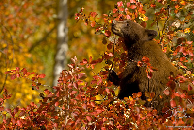 A cinnamon black bear cub feasting on Hawthorne Berries