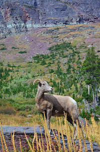 Bighorn Sheep in front of Cliff