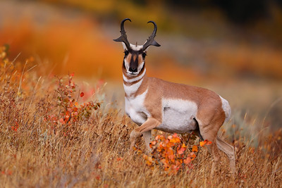 Grand Teton National Park Pronghorn