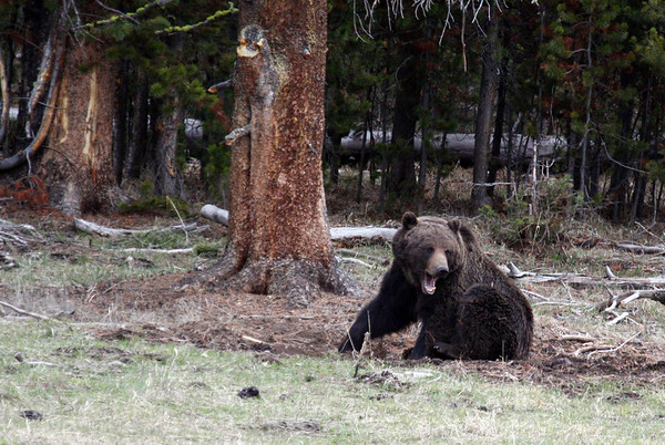 Grizzly Bear Yawning - Yellowstone National Park near Fishing Bridge