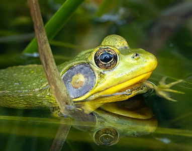 Frog in the Water