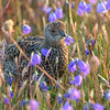 Juvenile Sooty Grouse