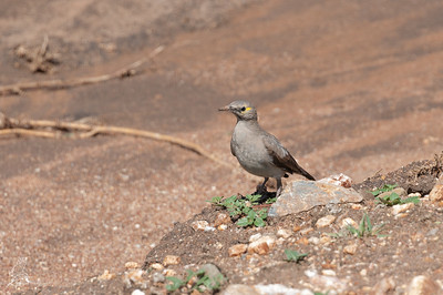 Starling, Wattled