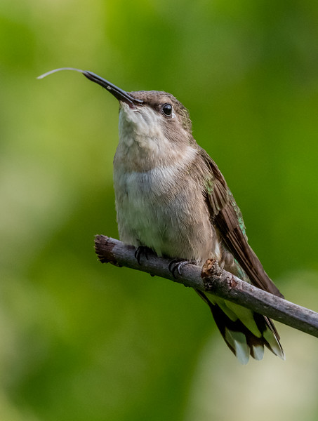 Ruby-Throated Hummingbird Sticking His Tongue Out 7/24/18