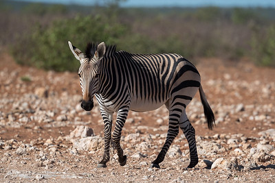 Zebra, Mountain