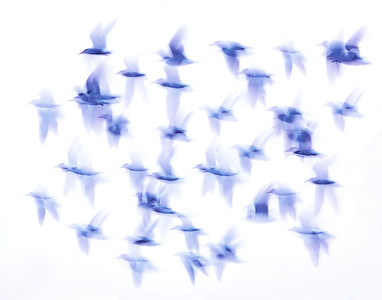 _JFF9138 Terns Migrating at Twilight ~ September - Copy