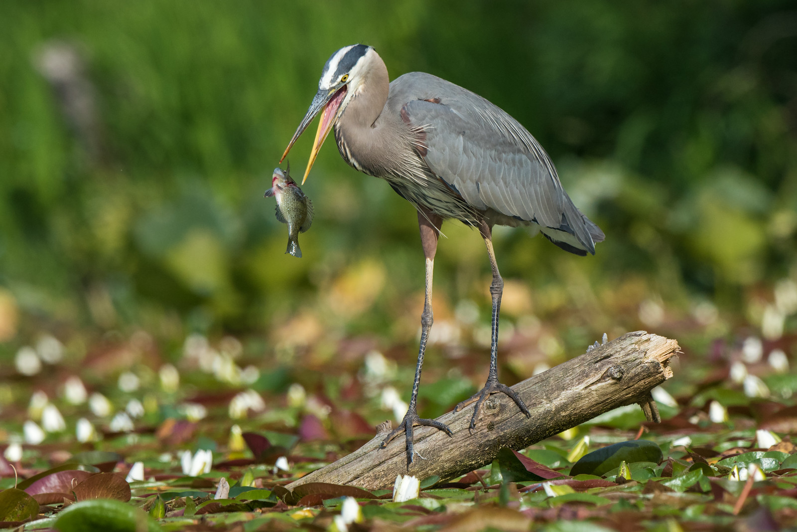 Great Blue Heron Toss-up