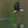 Bald Eagle with Kokanee in Talons