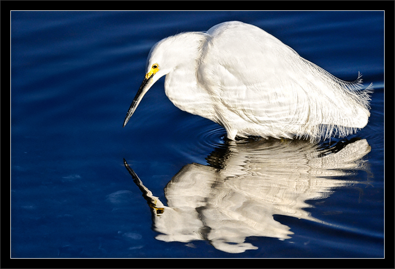 Ready to Fish  A snowy egret searches carefully in the shallow water for small fish (dinner).  Shoreline Park Mountain View, California  04-MAR-2010