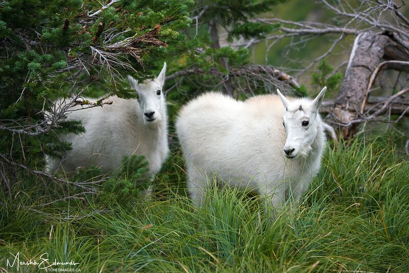 A Shy Moment  - Mountain Goat Twins