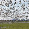 Snow Geese 3549