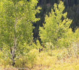 Black bear in Aspens