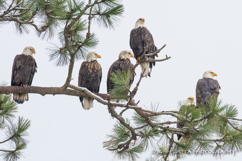 Six Eagles On A Branch