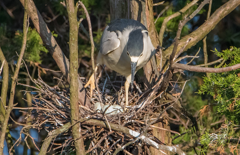 Black-Crowned Night Heron on Nest 5/25/16