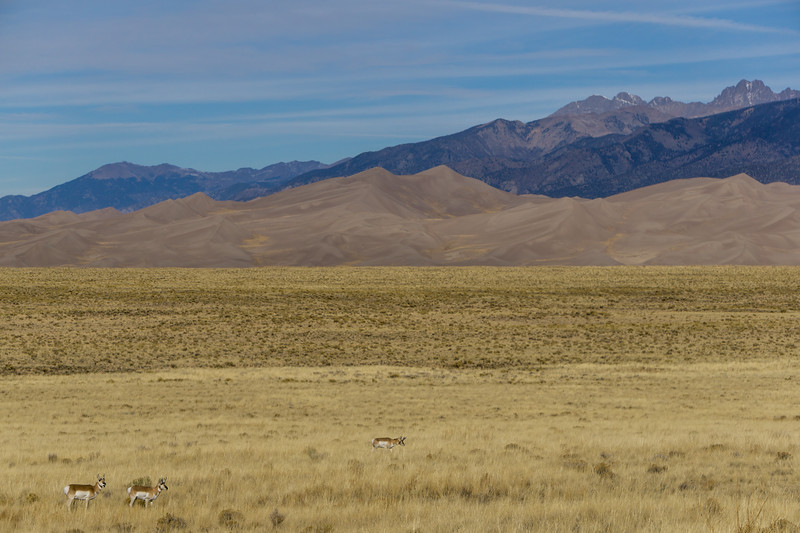 Pronghorn Antelope in Front of Sand Dunes