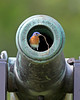 bluebird working on civil war nest, May on Cold Harbor battlefield, Mechanicsville, VA