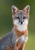 gray fox at dusk, July in Chester, VA