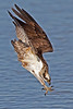 osprey diving for shad in the James River, Newport News, VA in April