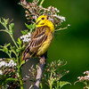 Yellowhammer singing in the morning sun