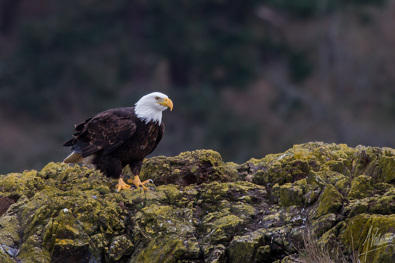 Bald Eagle, San Juan Islands, WA